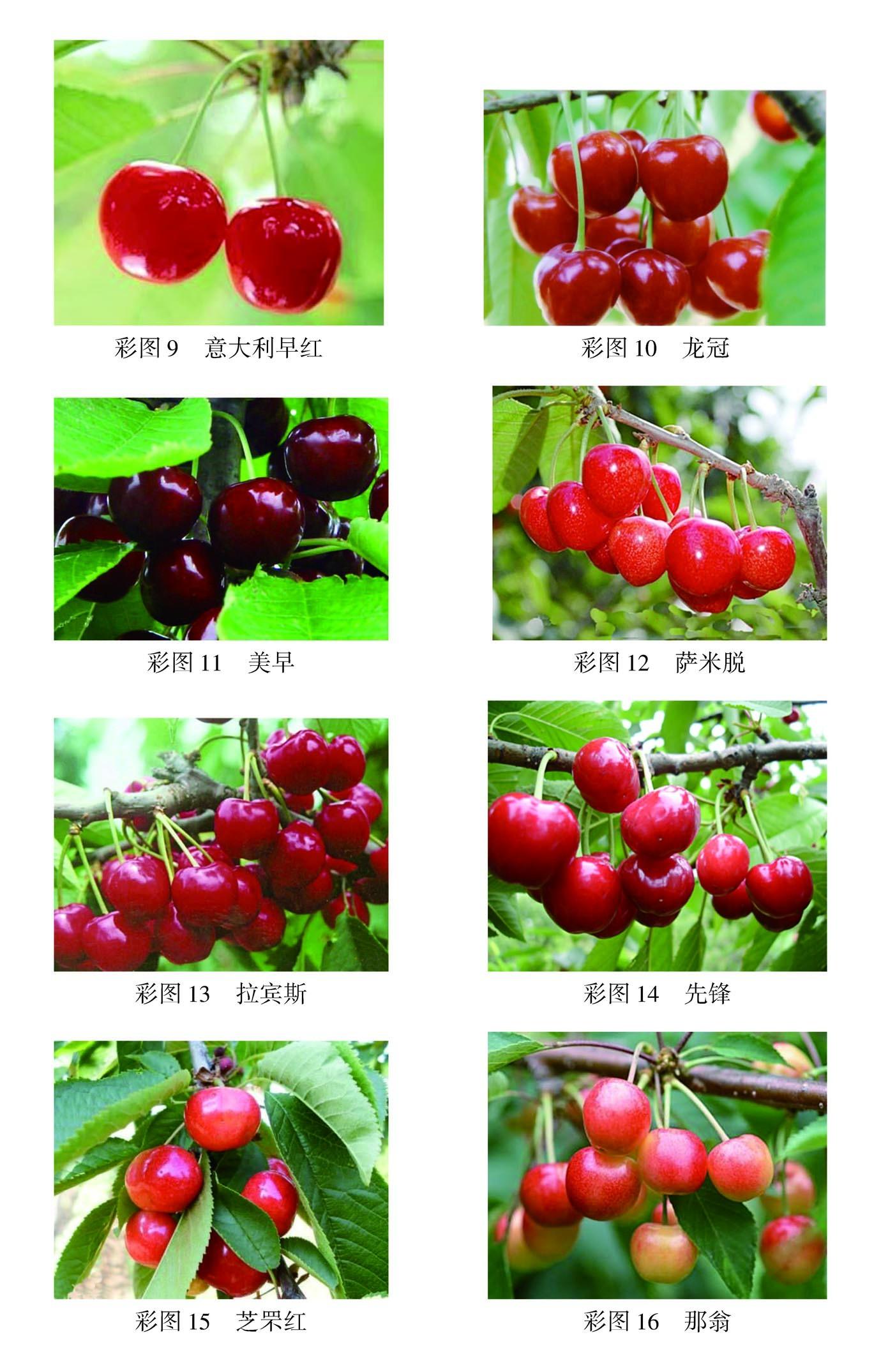 本书内容包括概述、甜樱桃的优良品种、樱桃的生物学特性、甜樱桃育苗技术、甜樱桃园的建立、甜樱桃田间管理技术(土肥水管理、花果管理、整形修剪技术)、甜樱桃病虫害防治技术和甜樱桃果实采收与采后处理共八章内容。内容简要实用,技术性强,文字、表格、插图等通俗易懂,并插有知识拓展、重要提示等特色栏目,以补充知识点。可供广大果树种植户和相关技术人员以及农林院校师生阅读参考。 目录 序 前言 第一章 概述 第一节 甜樱桃的栽培历史与利用价值 一、我国甜樱桃的发展历史 二、甜樱桃的利用价值 第二节 世界甜樱桃生产概况 第三