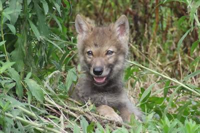 重返狼群在线阅读_李微漪的《重返狼群》讲述的是_李微漪重返狼群照片,重返狼群 ...